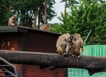 Familia de babuinos Fotografía de archivo libre de regalías