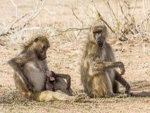 Familia de babuinos en el arbusto, en el parque de Kruger Fotos de archivo libres de regalías