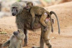 Familia de babuinos verdes olivas (Papio Anubis) Imagen de archivo libre de regalías