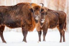 Familia de bisonte europeo en un bosque nevoso Fotografía de archivo