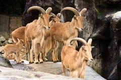 Familia de cabras de montaña en el parque zoológico Fotografía de archivo libre de regalías