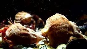 Familia de cangrejo de ermitaño del cáncer subacuático en busca de la comida del mar blanco metrajes