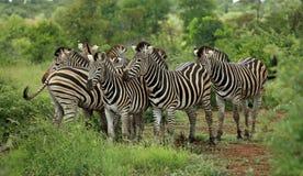 Familia de cebras Foto de archivo libre de regalías