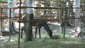 Familia de ciervos en el parque zoológico almacen de metraje de vídeo