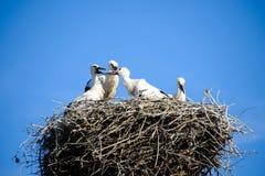 Familia de cigüeñas blancas Imagen de archivo libre de regalías
