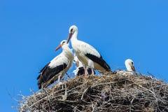 Familia de cigüeñas blancas Imagenes de archivo