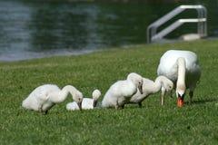 Familia de cisnes Foto de archivo libre de regalías