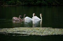 Familia de cisnes Foto de archivo