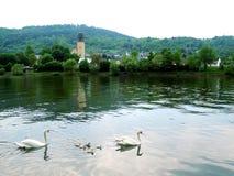 Familia de cisnes Imágenes de archivo libres de regalías