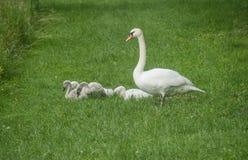 Familia de cisnes Fotos de archivo libres de regalías