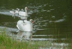 Familia de cisnes Fotografía de archivo