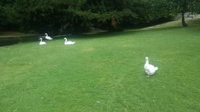 Familia de cisnes Imagen de archivo libre de regalías
