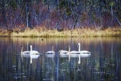 Familia de cisnes de trompetista en caída Fotografía de archivo libre de regalías