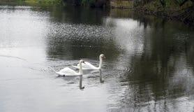 Familia de cisnes en la charca del otoño Imágenes de archivo libres de regalías