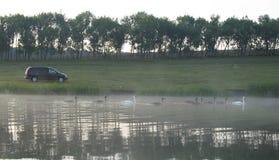 Familia de cisnes en una charca Foto de archivo