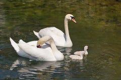 Familia de cisnes mudos Imagen de archivo libre de regalías