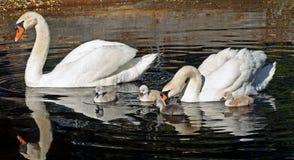 Familia de cisnes mudos hacia fuera para una nadada de la mañana - los pollos del cisne son 3 días de viejo Foto de archivo libre de regalías