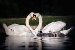 Familia de cisnes que hacen un corazón con sus cuellos imagenes de archivo