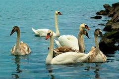 Familia de cisnes que nadan en el agua cerca de la orilla del Bal del lago Fotos de archivo