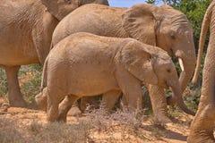 Familia de consumición del elefante africano cinco fotos de archivo libres de regalías