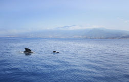 Familia de delfínes en el fondo de montañas en el mar imagen de archivo