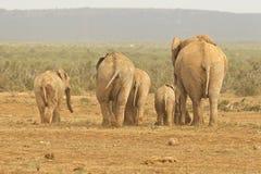 Familia de elefantes africanos cubiertos en fango que se niega a afrontar un agujero de agua foto de archivo libre de regalías