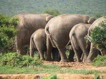 Familia de elefantes africanos en el agujero de consumición Imágenes de archivo libres de regalías