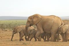 Familia de elefantes africanos que caminan rápidamente hacia un agujero de agua fotos de archivo libres de regalías
