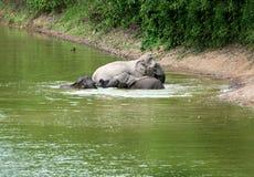 Familia de elefantes asiáticos que se bañan Fotos de archivo libres de regalías