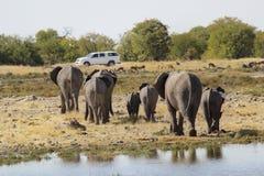 Familia de elefantes que caminan en la dirección de un coche en el parque nacional de Etosha en Namibia Imagen de archivo libre de regalías