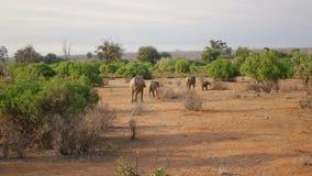 Familia de elefantes salvajes africanos con el bebé que camina en el desierto con tierra roja almacen de video