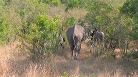 Familia de elefantes salvajes africanos con los bebés que pastan en los arbustos metrajes
