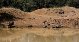 Familia de facoquero africano del cerdo en fauna del safari de Suráfrica metrajes