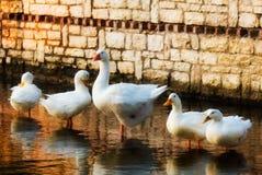Familia de gansos Imagen de archivo libre de regalías