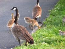 Familia de gansos foto de archivo libre de regalías