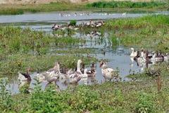 Familia de gansos imagenes de archivo