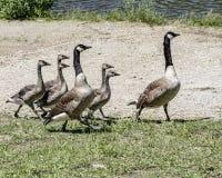 Familia de gansos de Canadá que salen Imagen de archivo libre de regalías