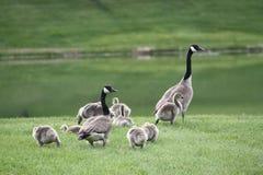 Familia de gansos canadienses Foto de archivo