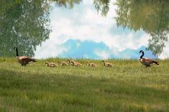 Familia de gansos de Canadá imagen de archivo libre de regalías
