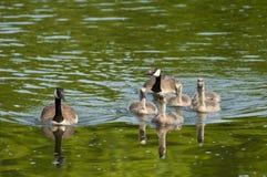 Familia de gansos de Canadá que nadan Foto de archivo