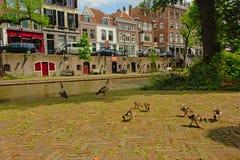 Familia de gansos egipcios en los muelles del canal del ` del oudegracht del ` en Utrecht Imagen de archivo libre de regalías