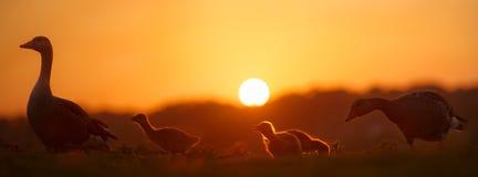 Familia de gansos en la puesta del sol Fotos de archivo