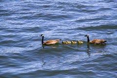 Familia de gansos en una natación de Sunny Summer Day en el río de Willamette en Portland Oregon fotos de archivo