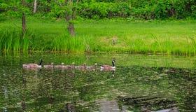 Familia de gansos que cruzan la charca Fotos de archivo libres de regalías
