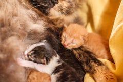Familia de gato dulce - apenas gatitos recién nacidos con un gato de la madre Gatitos rojos, blancos y negros Imágenes de archivo libres de regalías