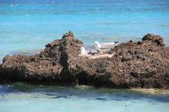 Familia de gaviotas en la jerarquía en una roca grande en el mar Foto de archivo libre de regalías