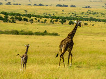 Familia de Giraff Foto de archivo libre de regalías