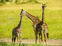 Familia de Giraff Imagenes de archivo