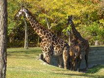 Familia de Giraffs foto de archivo