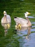 Familia de Gooses Foto de archivo libre de regalías